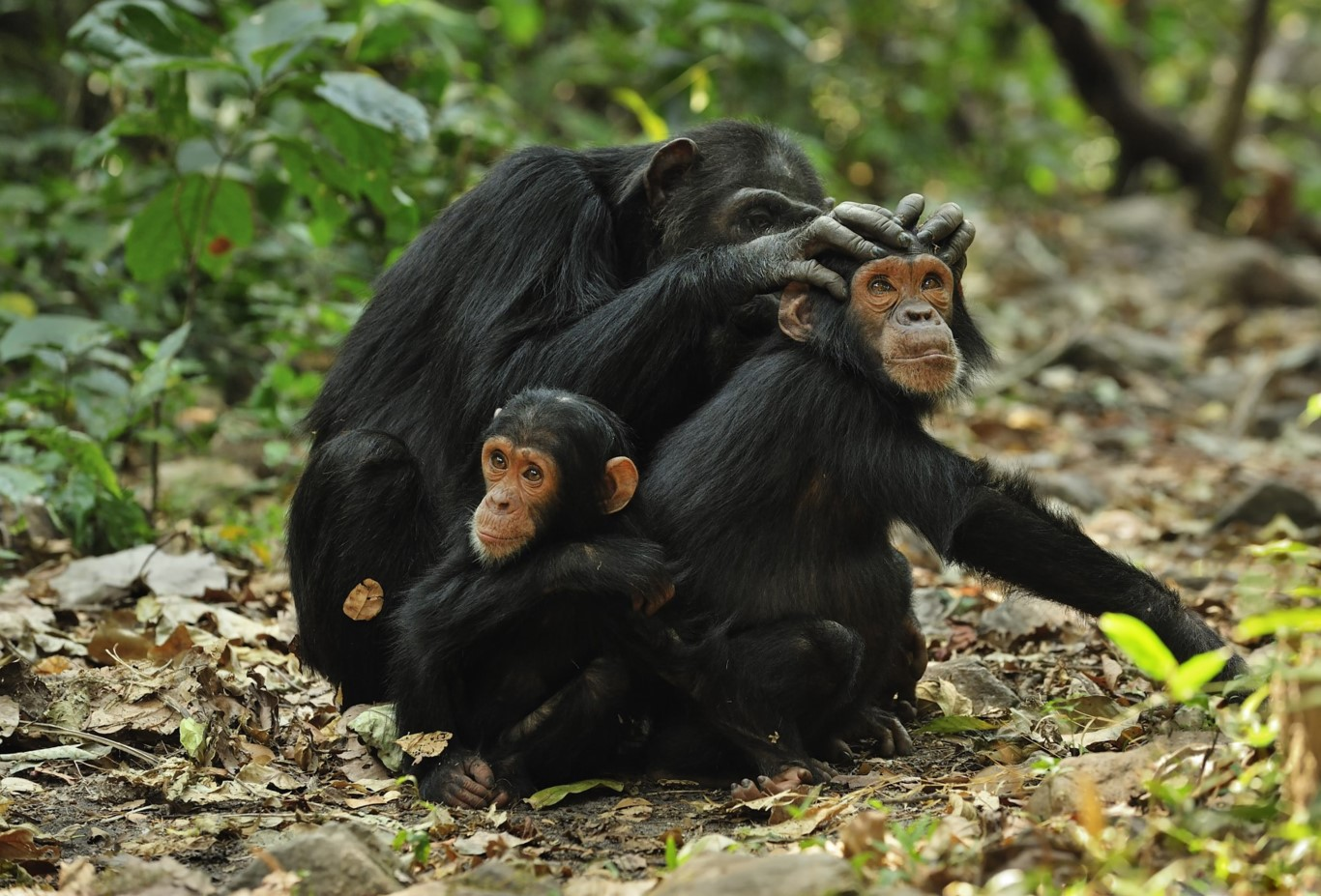 Chimpanzee Tracking Safari at Gombe Stream National Park Tanzania